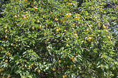 Wild or sweet Cherry (Prunus avium) tree or gean with green fruits and leaves on the windy sunny day in the nature