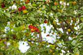 Wild or sweet Cherry (Prunus avium) tree or gean with green fruits and leaves on the windy sunny day in the nature selective focus