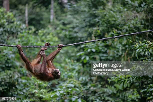 A wild Orangutan (Pongo pygmaeus) swinging in rainforest, Sepilok, Sabah, Borneo, Malaysia