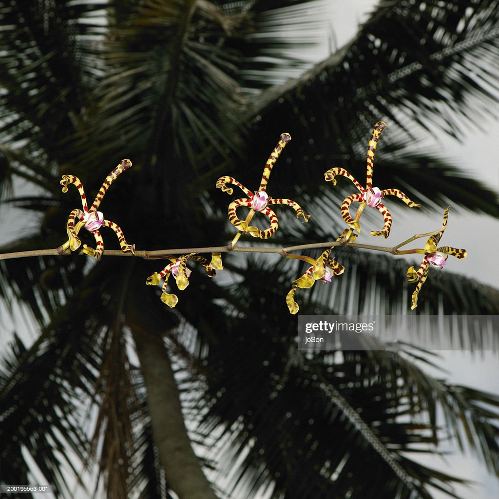 Wild orchids (Epiphyte orchidaceae) in coconut grove, evening : Stock Photo