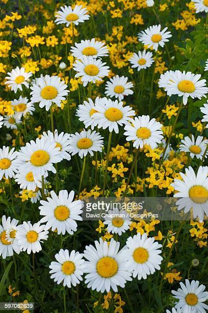 Wild Ox-Eye Daisies (Leucanthemum vulgare)