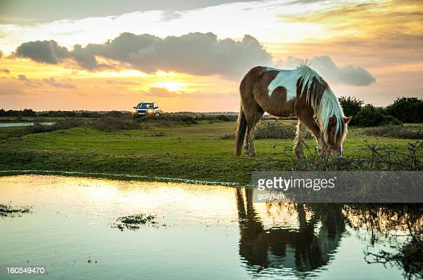 Wild paint horse at The New Forest, England
