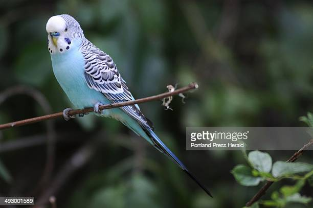A wild parakeet is a frequent visitor to a small outdoor sitting area created by a group of friends who view and feed the wildlife in a tiny corner...