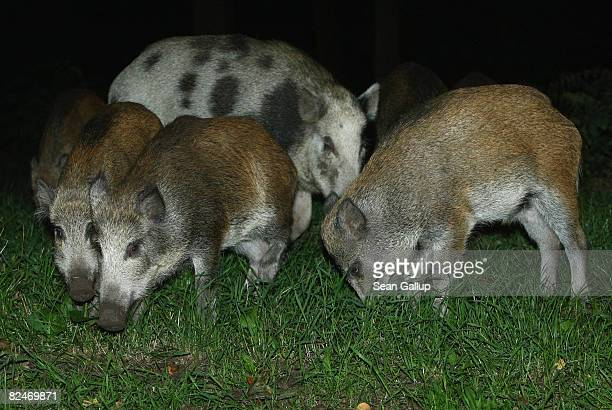 Wild pigs part of a herd that one eyewitness reported numbered 26 animals forage on the edge of a public park in Zehlendorf district on August 19...