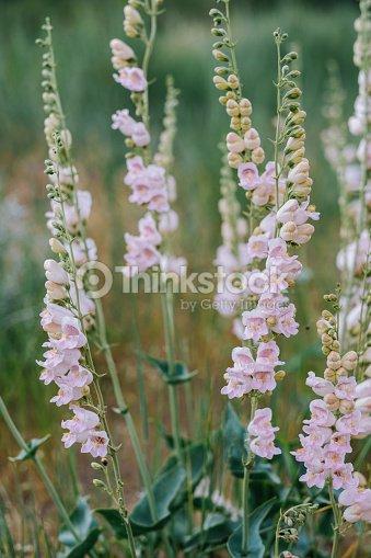 Wild Pink Snap Dragon Flowers Stock Photo Thinkstock