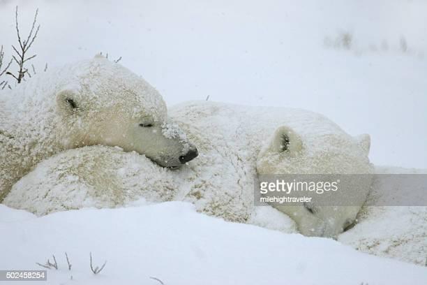 Vie sauvage ours polaire sous des cubs de sommeil dans la baie d'Hudson Manitoba
