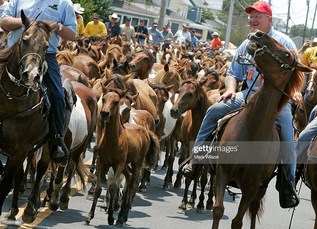 Wild ponies are herded down the street after making the annual swim across the Assateague Channel to Chincoteague Island July 25 2007 in Chincoteague...