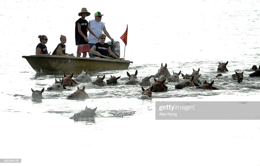Wild ponies are herded into the Assateague Channel during the annual pony swim event from Assateague Island to Chincoteague on July 29 2015 in...