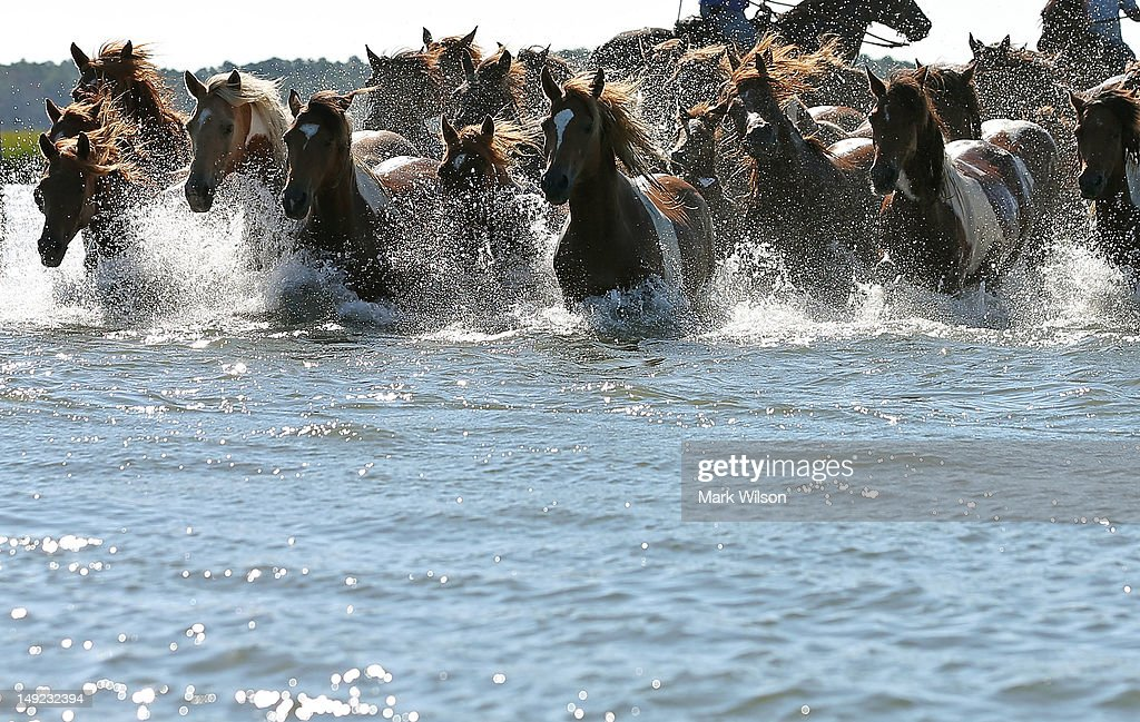 Wild ponies are herded into the Assateague Channel to for their annual swim to Chincoteague Island on July 25 2012 in Chincoteague Virginia Every...