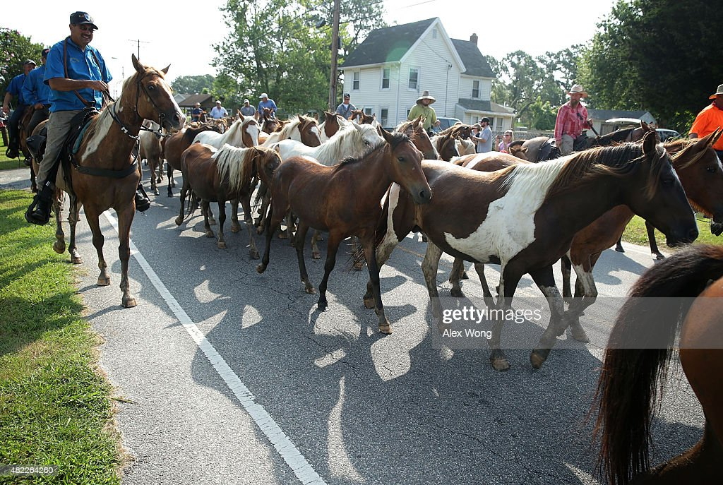 Wild ponies are herded toward the carnival grounds after they swam across Assateague Channel during the annual pony swim event from Assateague Island...
