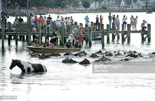 Wild ponies come ashore from the Assateague Channel during the annual pony swim event from Assateague Island to Chincoteague on July 29 2015 in...
