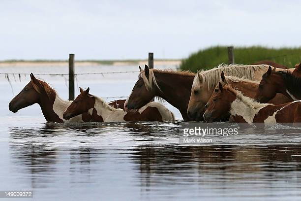 Wild ponies cross a small creek after being rounded up to be herded to a holding pen before making next weeks annual swim across the Assateague...