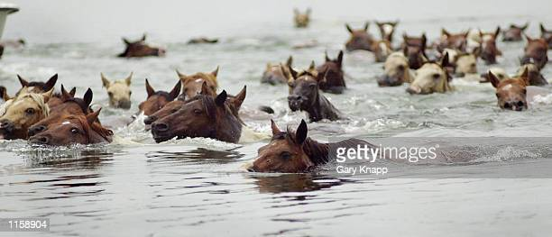Wild ponies cross the Assateague Channel during the 77th annual Pony Swim and Auction July 25 2002 to the island of Chincoteague Virginia The ponies...