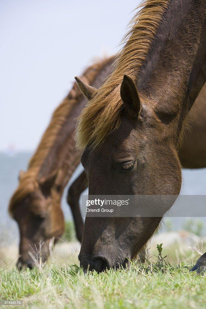 Wild ponies grazing along the coast. : Stock Photo