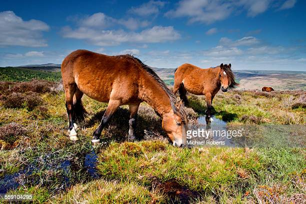 Wild ponies in the Black Mountains, Wales