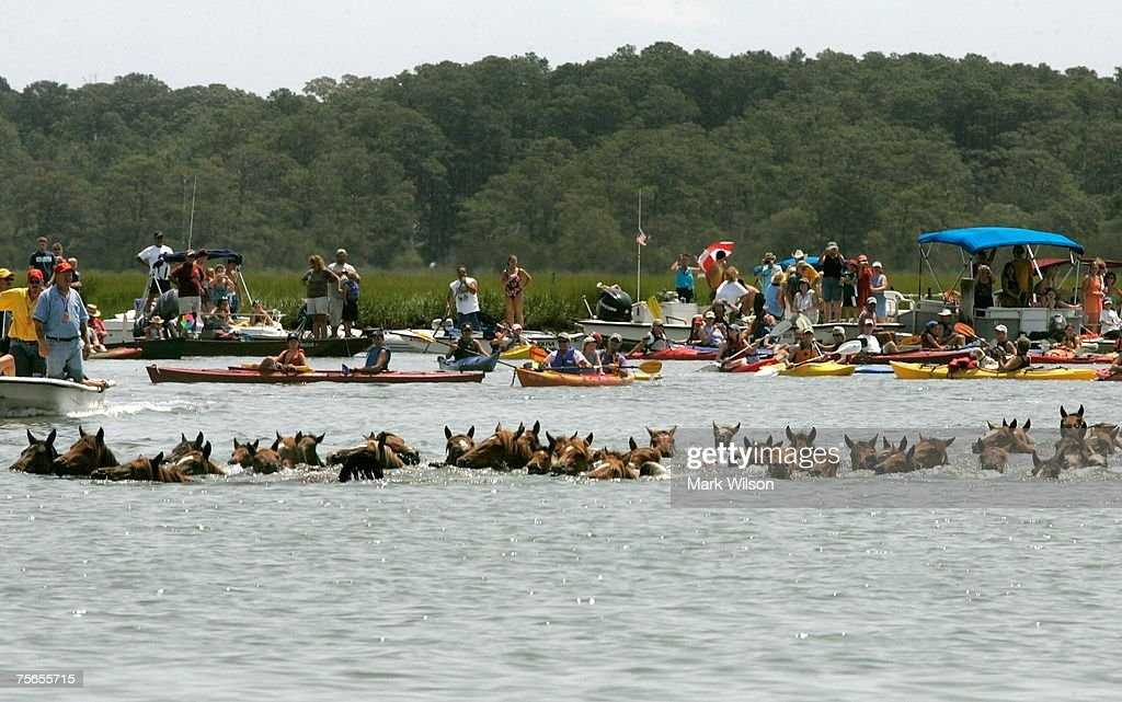 Wild ponies make the annual swim from across the Assateague Channel to Chincoteague Island July 25 2007 in Chincoteague Virginia Each year the wild...