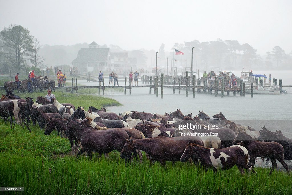 Wild ponies reach land after crossing the Assateague Channel during the 88th Annual Pony Swim in Chincoteague Island VA on July 24 2013 The ponies...