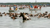 Wild ponies reach the shore after making the annual swim from across the Assateague Channel to Chincoteague Island July 25 2007 in Chincoteague...