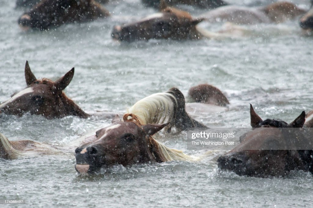 Wild ponies swim across the Assateague Channel during the 88th Annual Pony Swim in Chincoteague Island VA on July 24 2013 The ponies are auctioned to...