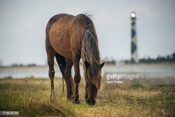 Wild Pony on Shackleford Banks