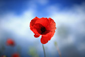 Wild poppies bloom at Blackstone Farm Fields managed by Worcestershire Wildlife Trust on July 1 2014 in Bewdley United Kingdom As the centenary of...