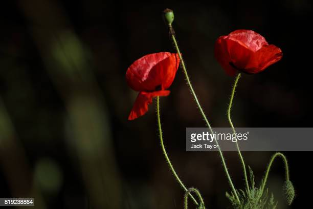 Wild poppies grow beside a field near Polygon Wood on July 13 2017 in Ypres Belgium July 31 2017 marks the centenary of one of the bloodiest battles...