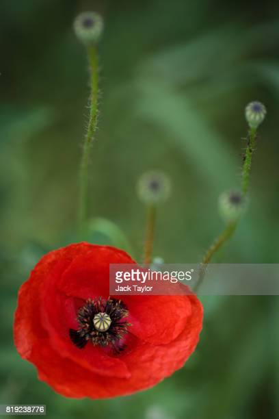 Wild poppies grow beside a field near Polygon Wood on July 14 2017 in Ypres Belgium July 31 2017 marks the centenary of one of the bloodiest battles...