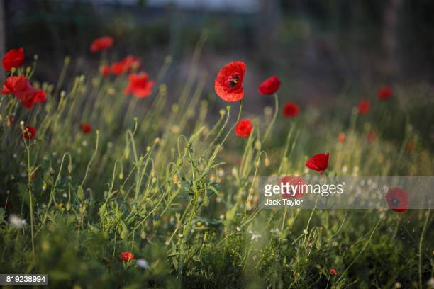 Wild poppies grow beside a field near Polygon Wood on July 14 2017 in Heuvelland Belgium July 31 2017 marks the centenary of one of the bloodiest...