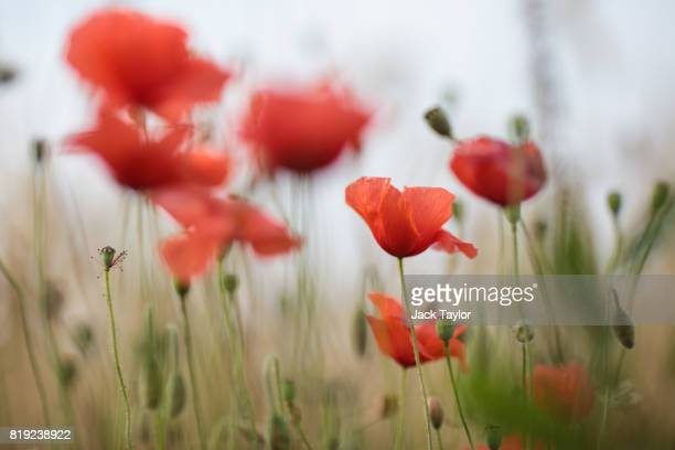 Wild poppies grow beside a field near Tyne Cot Cemetery on July 13 2017 in Ypres Belgium July 31 2017 marks the centenary of one of the bloodiest...