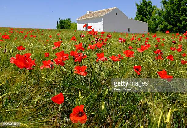 Wild poppies grow in the Castilla La Mancha landscape after a wet spell of rainfall on May 20 2016 in the Tablas de Daimiel National Park near...