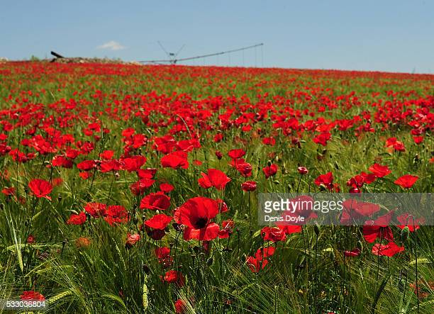 Wild poppies grow in the Castilla La Mancha landscape after a wet spell of rainfall on May 20 2016 near Daimiel Spain The poppies a familiar feature...