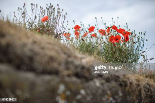 Wild poppies grow in the 'Trench of Death' a preserved Belgian World War One trench system on July 14 2017 in Diksmuide Belgium July 31 2017 marks...