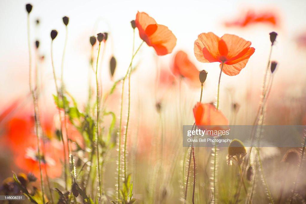 Wild poppies in Dorset
