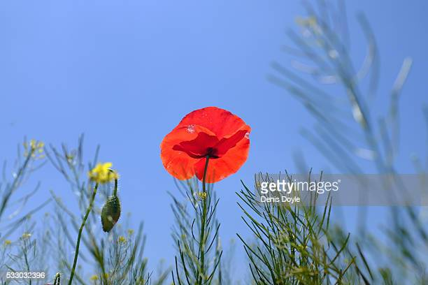 A wild poppy grows in the Castilla La Mancha landscape after a wet spell of rainfall on May 20 2016 in the Tablas de Daimiel National Park near...