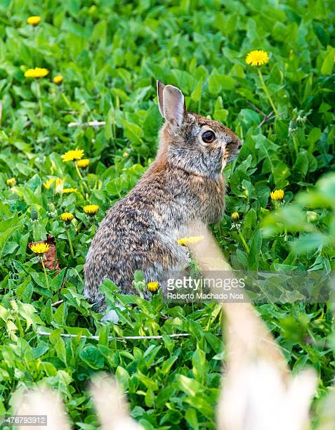 Wild rabbit in garden Little hare sitting in the green grass with flowers dandelions