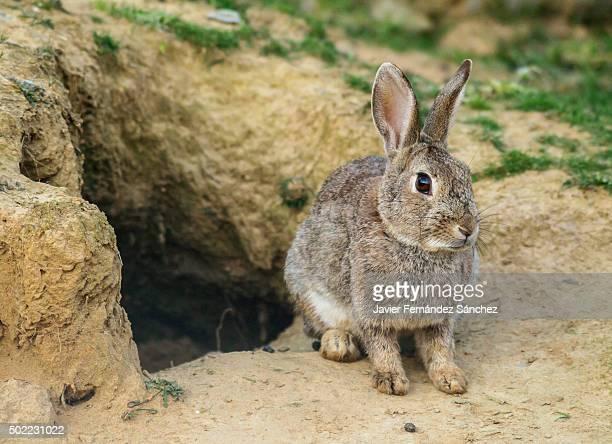 A wild rabbit next to its burrow. Rabbit hole. Oryctolagus cuniculus.