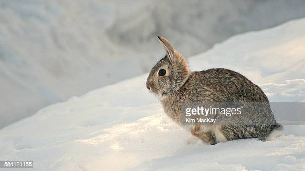 Wild rabbit on a snow hill