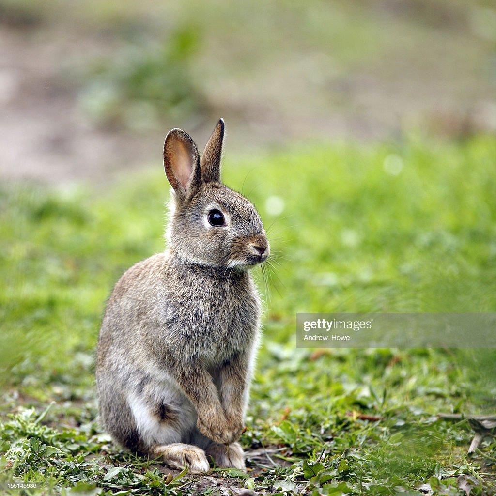 Wild Rabbit (Oryctolagus cuniculus) : Stock Photo