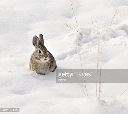 Wild rabbit sitting in the snow