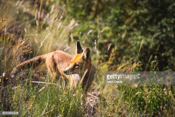 Wild red fox in the middle of the mountain in the Catalan Pyrenees during travel vacations.