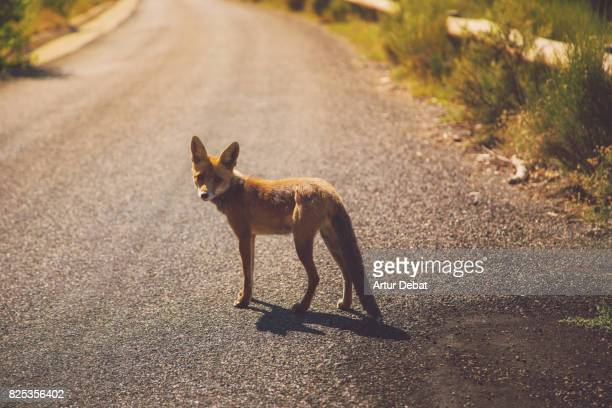 Wild red fox in the middle of the mountain road in the Catalan Pyrenees during travel vacations.