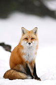 Wild Red Fox In Winter
