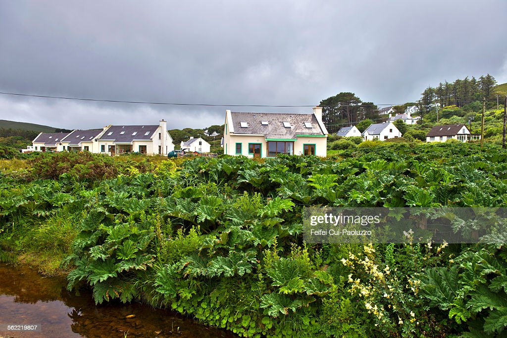 Wild rhubarb plant Doogort Achill Island Ireland