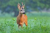 Wild roe deer standing in a field and eating weed
