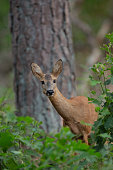 Wild Roe Deer standing in the bushes in national park The Hoge Veluwe.