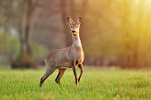 Wild roe deer in a field and lit by warm sunlight