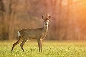 Wild roe deer in early morning light