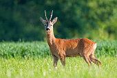 Photo of wild roe deer in a field