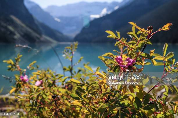 Wild rose country. Rocky Mountains reflecting in Lake Louise, Alberta, Canada.