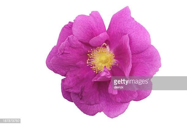 Wildrose Blüte, isoliert auf weiss